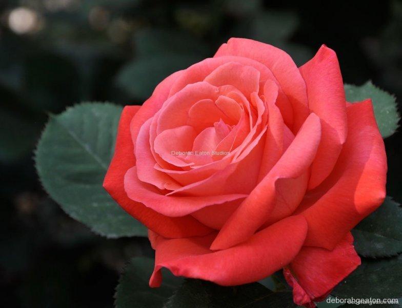 rosebeauty-jpg