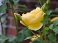 yellowrose-jpg